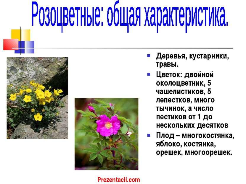 Деревья, кустарники, травы. Цветок: двойной околоцветник, 5 чашелистиков, 5 л...
