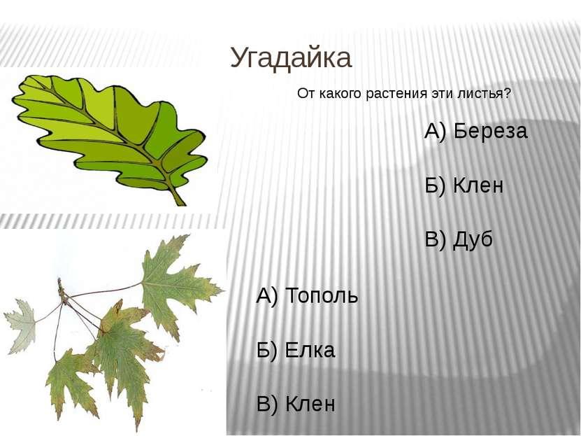 Угадайка От какого растения эти листья? А) Береза Б) Клен В) Дуб А) Тополь Б)...