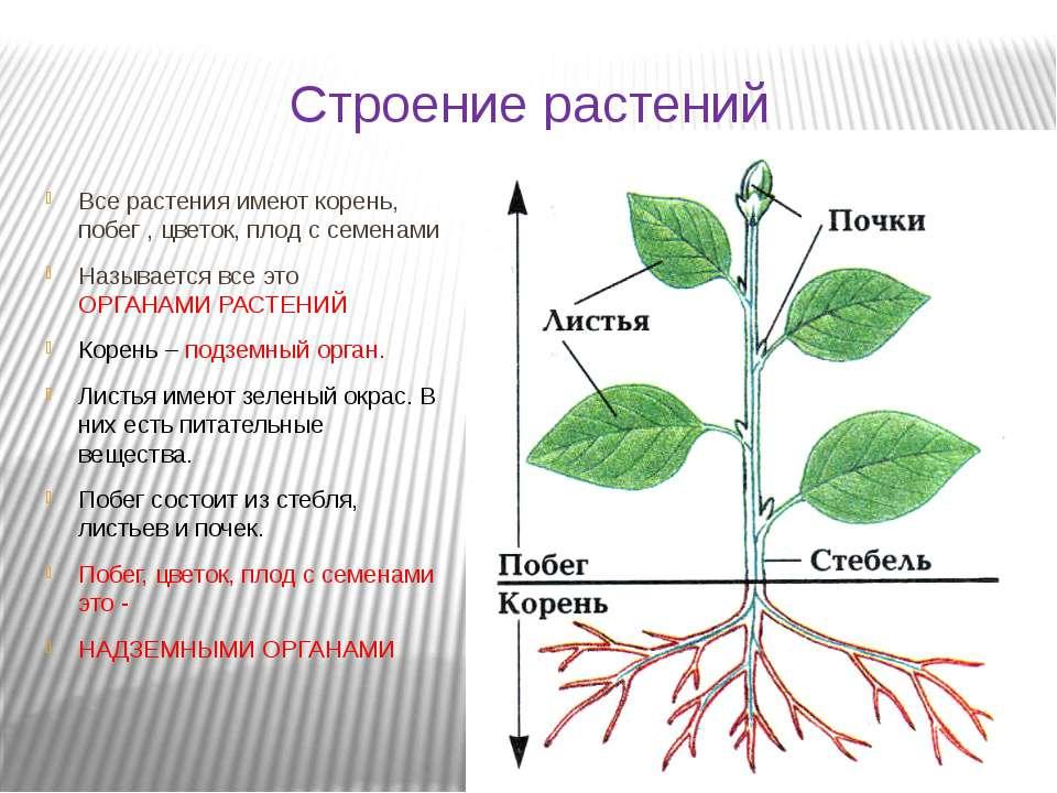 Строение растений Все растения имеют корень, побег , цветок, плод с семенами ...