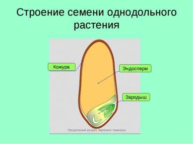 Строение семени однодольного растения Кожура Эндосперм Зародыш