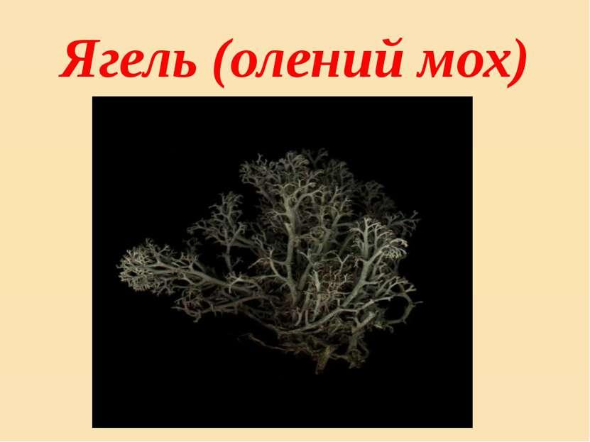 Ягель (олений мох)