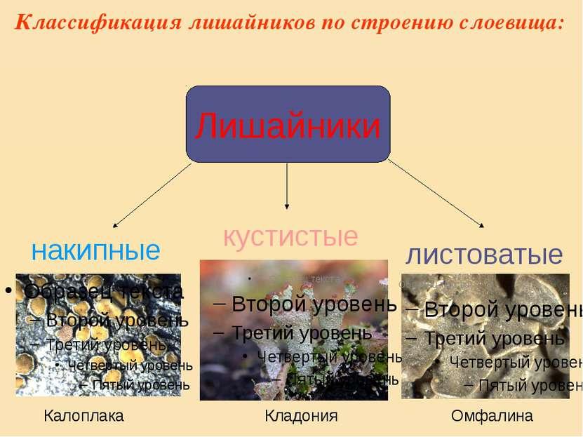 Классификация лишайников по строению слоевища: Лишайники накипные листоватые ...