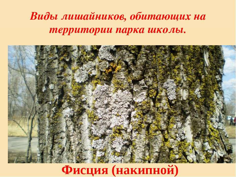 Виды лишайников, обитающих на территории парка школы. Фисция (накипной)