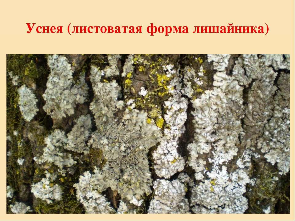 Уснея (листоватая форма лишайника)