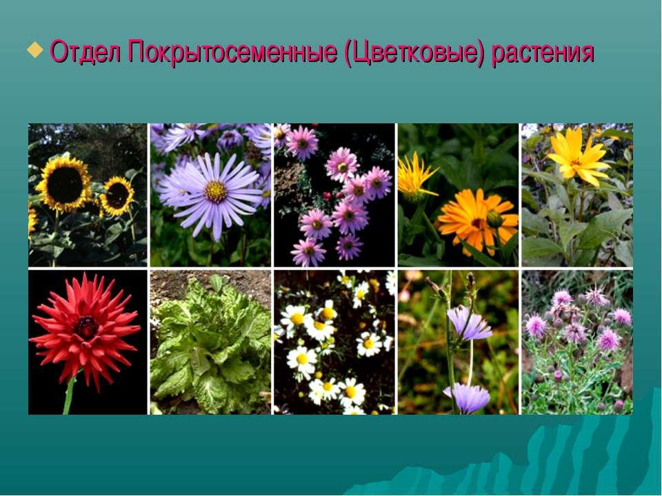 Отдел Покрытосеменные (Цветковые) растения