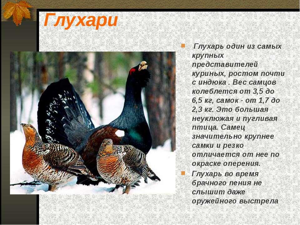 Глухари Глухарь один из самых крупных представителей куриных, ростом почти с ...