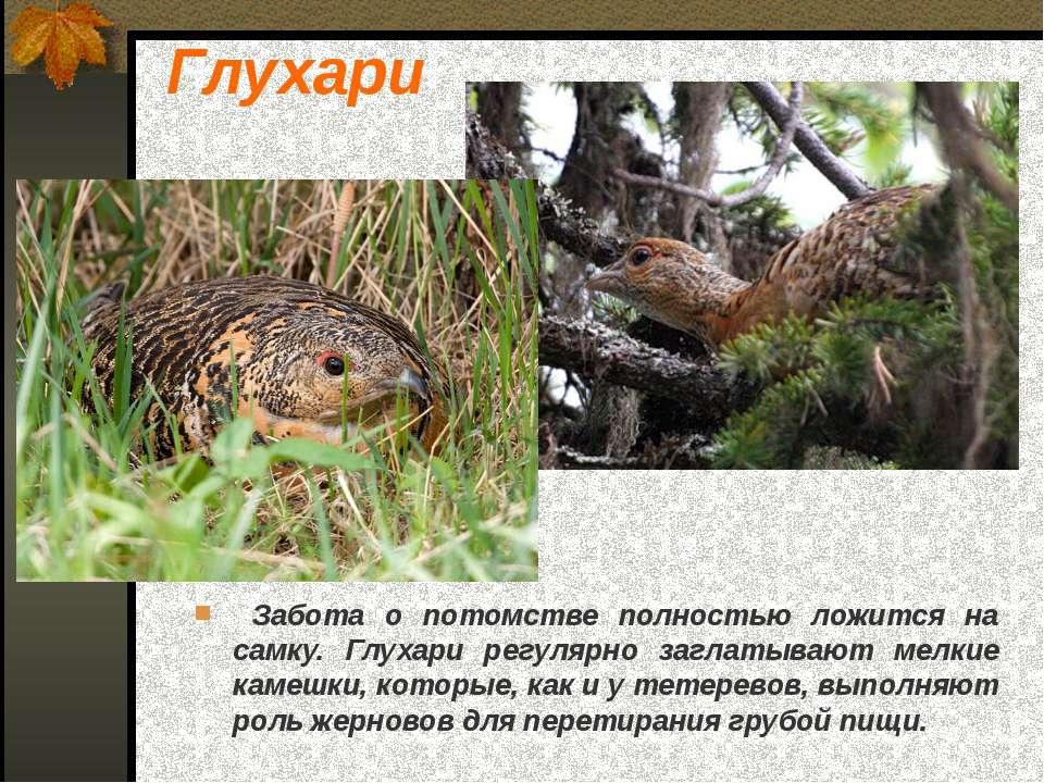 Забота о потомстве полностью ложится на самку. Глухари регулярно заглатывают ...
