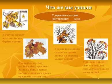Что же мы узнали У деревьев есть свои «внутренние» часы В августе начали желт...