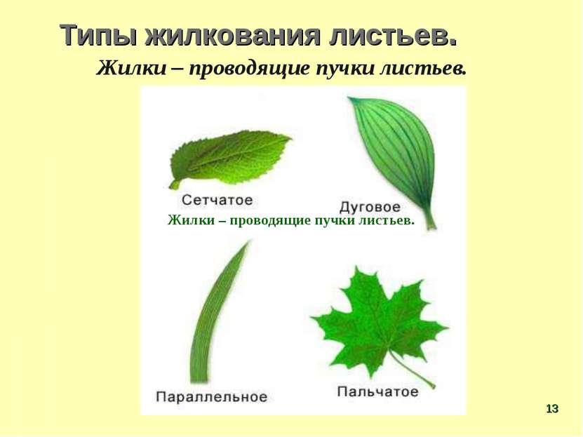 Типы жилкования листьев. Жилки – проводящие пучки листьев. Жилки – проводящие...