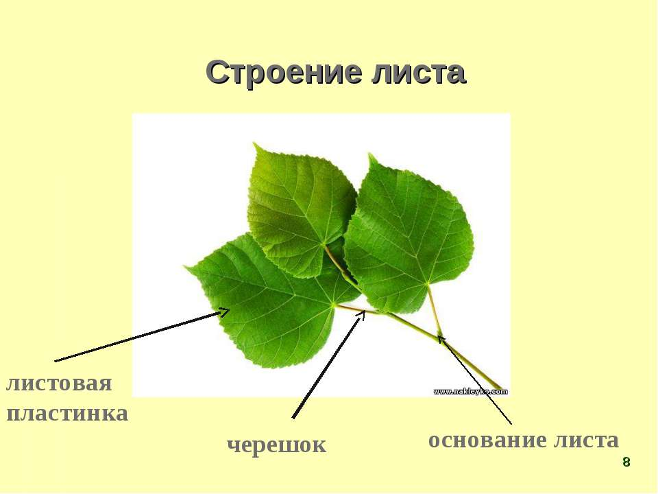 Строение листа листовая пластинка черешок основание листа *