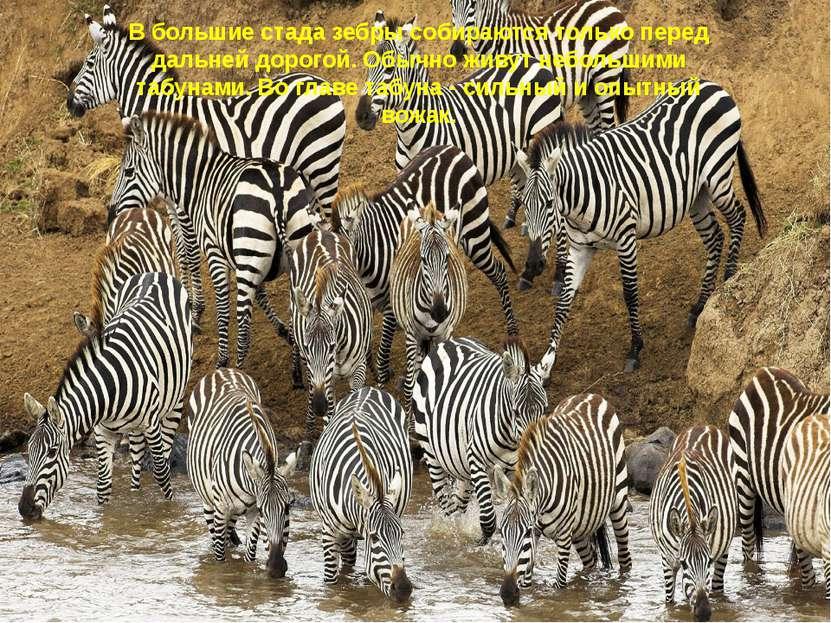 В большие стада зебры собираются только перед дальней дорогой. Обычно живут н...