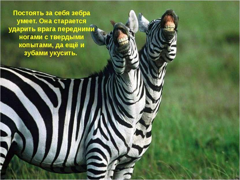 Постоять за себя зебра умеет. Она старается ударить врага передними ногами с ...