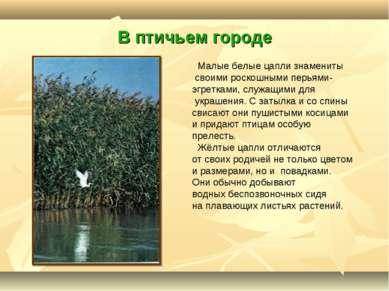 В птичьем городе Малые белые цапли знамениты своими роскошными перьями- эгрет...