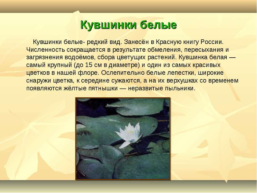 Кувшинки белые Кувшинки белые- редкий вид. Занесён в Красную книгу России. Чи...