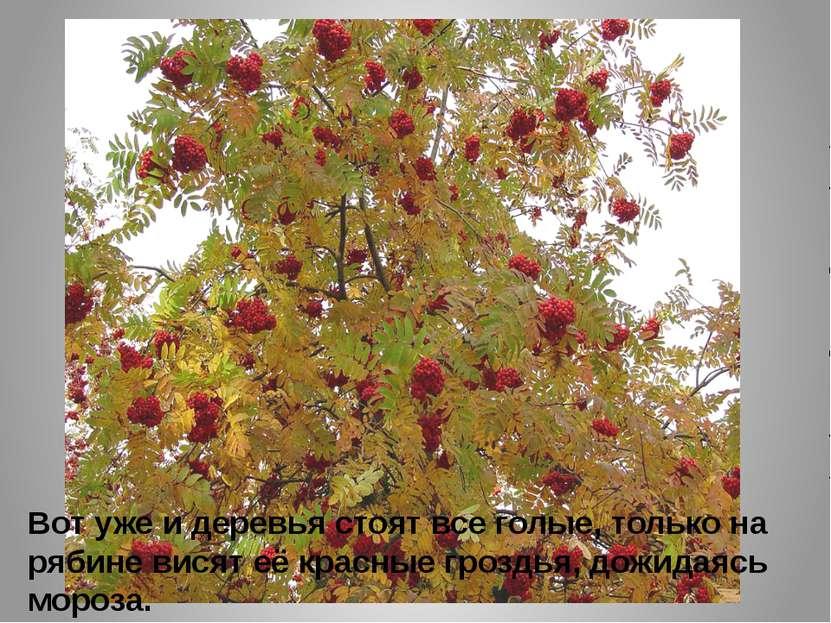 Вот уже и деревья стоят все голые, только на рябине висят её красные гроздья,...