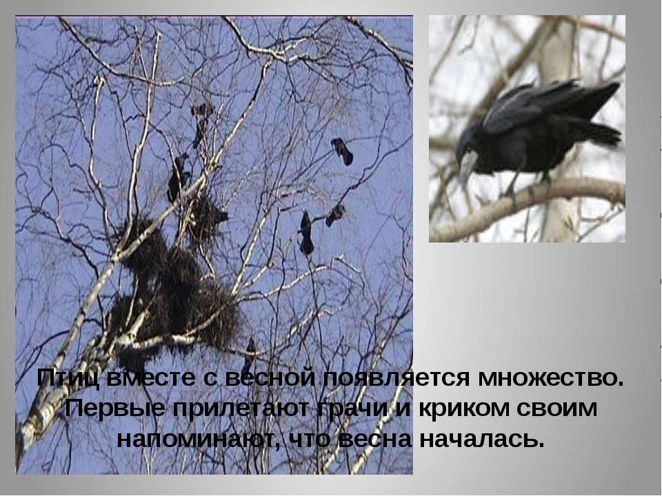 Птиц вместе с весной появляется множество. Первые прилетают грачи и криком св...