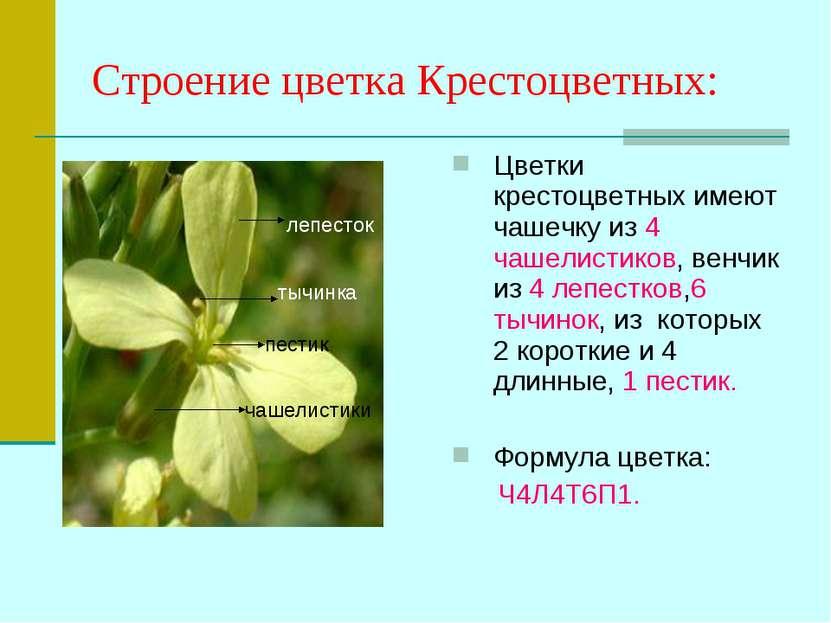 Строение цветка Крестоцветных: Цветки крестоцветных имеют чашечку из 4 чашели...