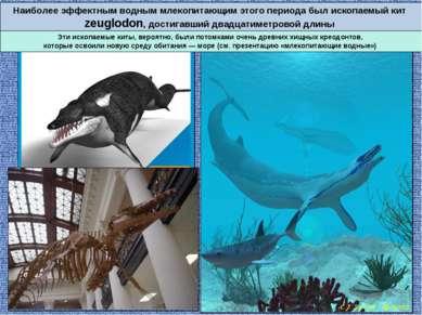 Наиболее эффектным водным млекопитающим этого периода был ископаемый кит zeug...