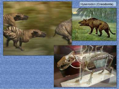 Hyaenodon (Creodonta).