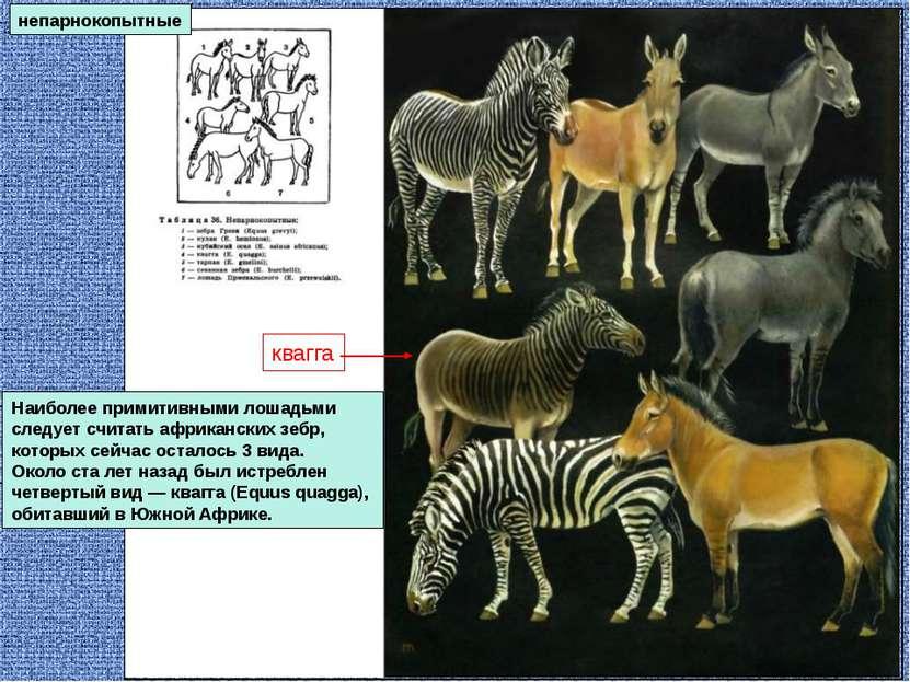 непарнокопытные Наиболее примитивными лошадьми следует считать африканских зе...