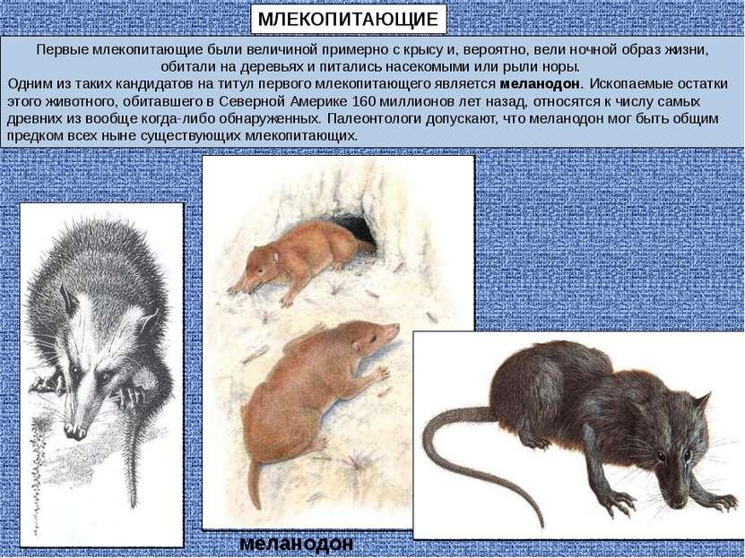 МЛЕКОПИТАЮЩИЕ Первые млекопитающие были величиной примерно с крысу и, вероятн...