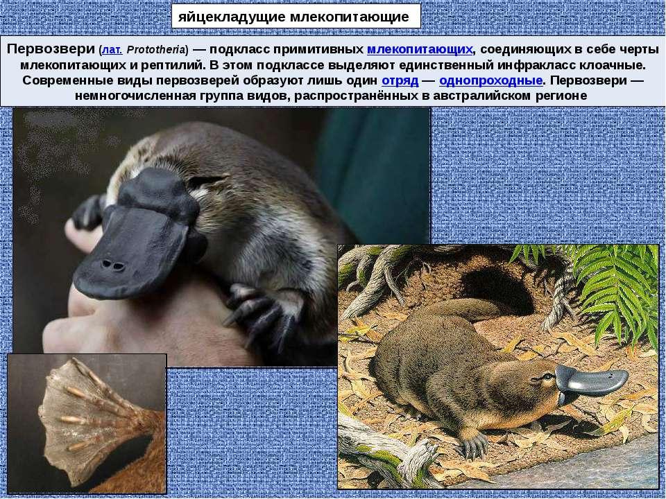 Первозвери(лат.Prototheria)— подкласс примитивных млекопитающих, соединяющ...