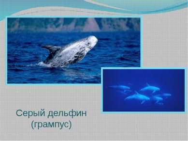 Серый дельфин (грампус)
