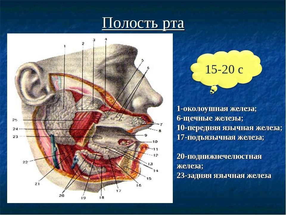 Полость рта 1-околоушная железа; 6-щечные железы; 10-передняя язычная железа;...