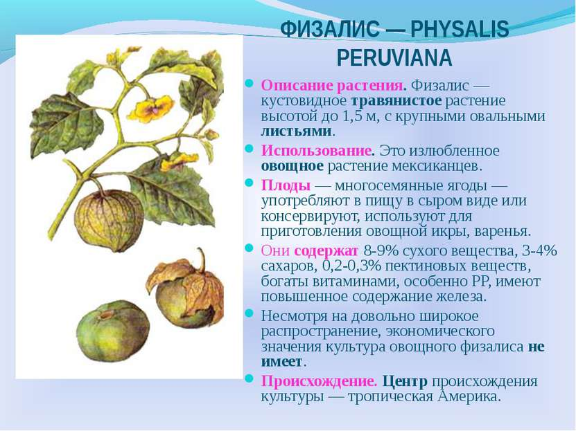 ФИЗАЛИС — РHYSALIS PERUVIANA Описание растения. Физалис — кустовидное травяни...