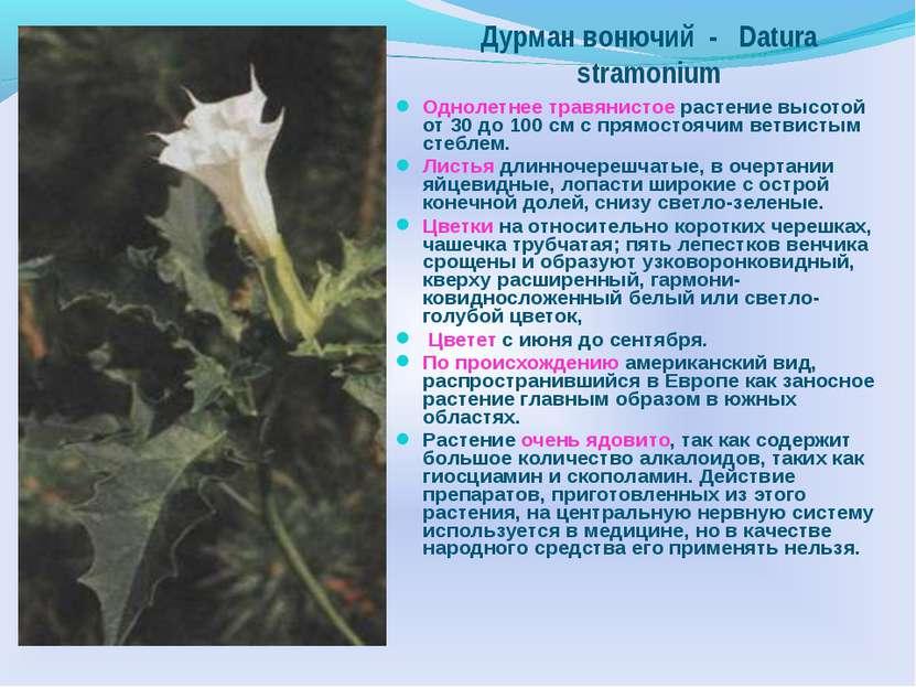 Однолетнее травянистое растение высотой от 30 до 100 см с прямостоячим ветвис...