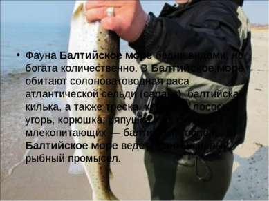Фауна Балтийское море бедна видами, но богата количественно. В Балтийское мор...