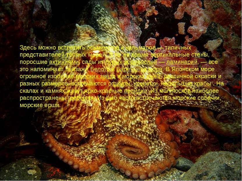 Здесь можно встретить осьминогов и кальмаров— типичных представителей тёплых...