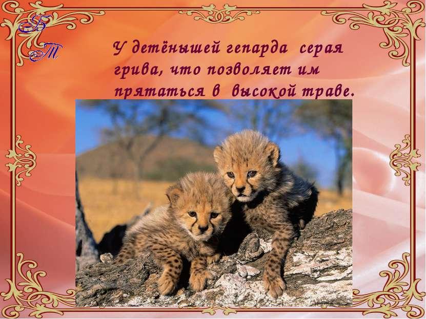 У детёнышей гепарда серая грива, что позволяет им прятаться в высокой траве.