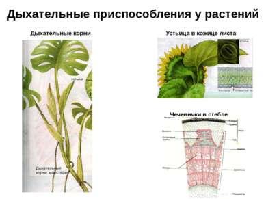 Дыхательные приспособления у растений Дыхательные корни Устьица в кожице лист...