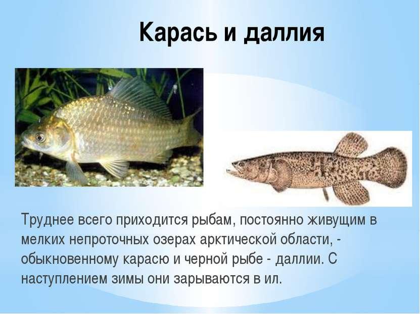 Карась и даллия Труднее всего приходится рыбам, постоянно живущим в мелких не...