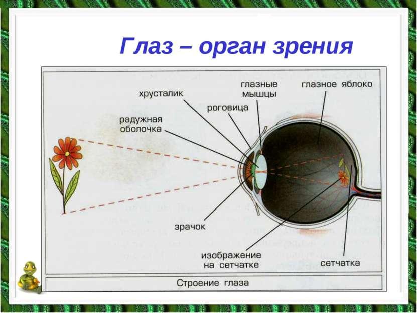 Глаз – орган зрения