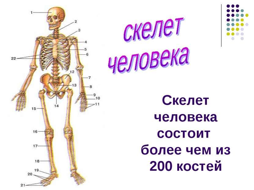 Скелет человека состоит более чем из 200 костей