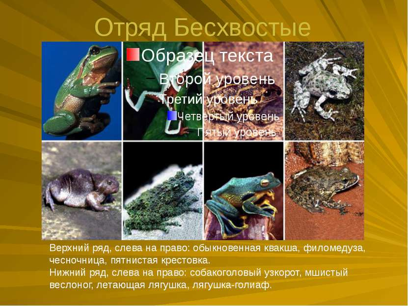 Отряд Бесхвостые Верхний ряд, слева на право: обыкновенная квакша, филомедуза...