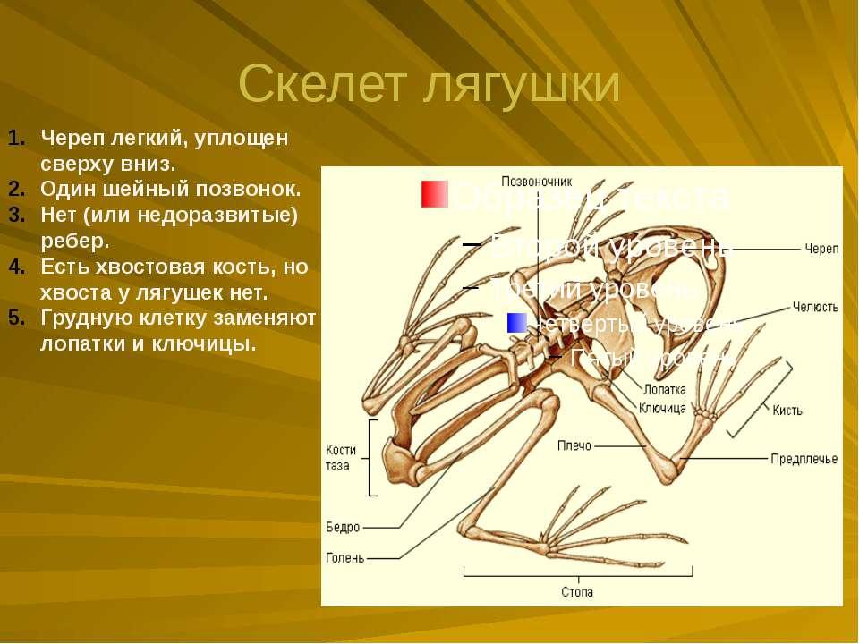 Скелет лягушки Череп легкий, уплощен сверху вниз. Один шейный позвонок. Нет (...