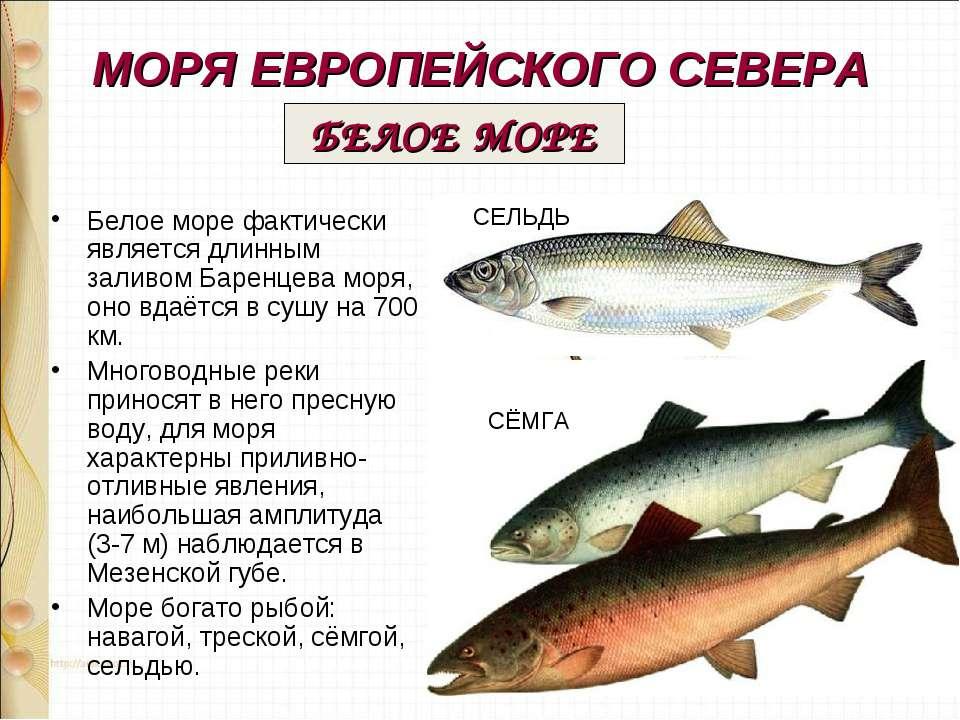 МОРЯ ЕВРОПЕЙСКОГО СЕВЕРА Белое море фактически является длинным заливом Барен...