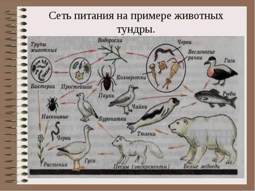 Сеть питания на примере животных тундры.