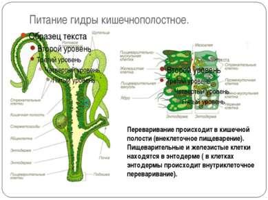 Питание гидры кишечнополостное. Переваривание происходит в кишечной полости (...