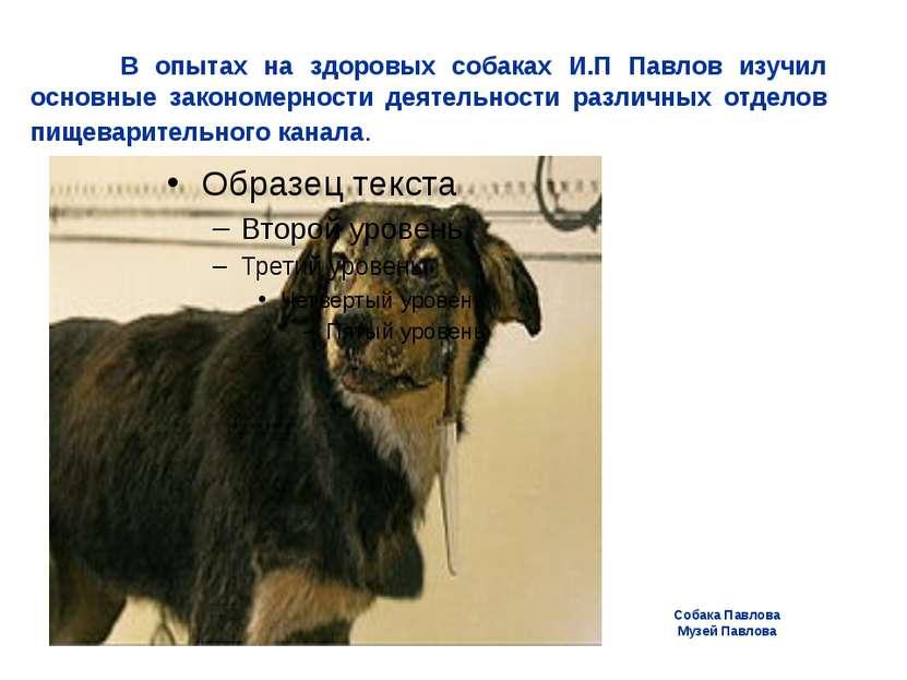 Собака Павлова Музей Павлова В опытах на здоровых собаках И.П Павлов изучил о...