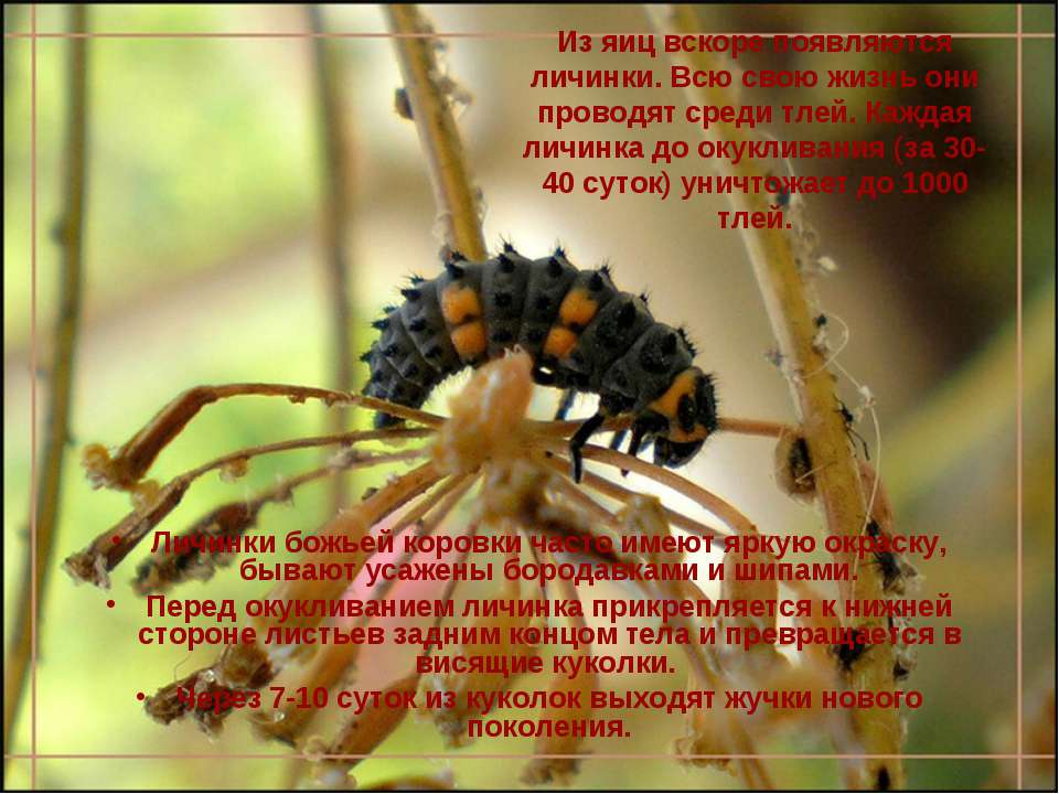 Из яиц вскоре появляются личинки. Всю свою жизнь они проводят среди тлей. Каж...