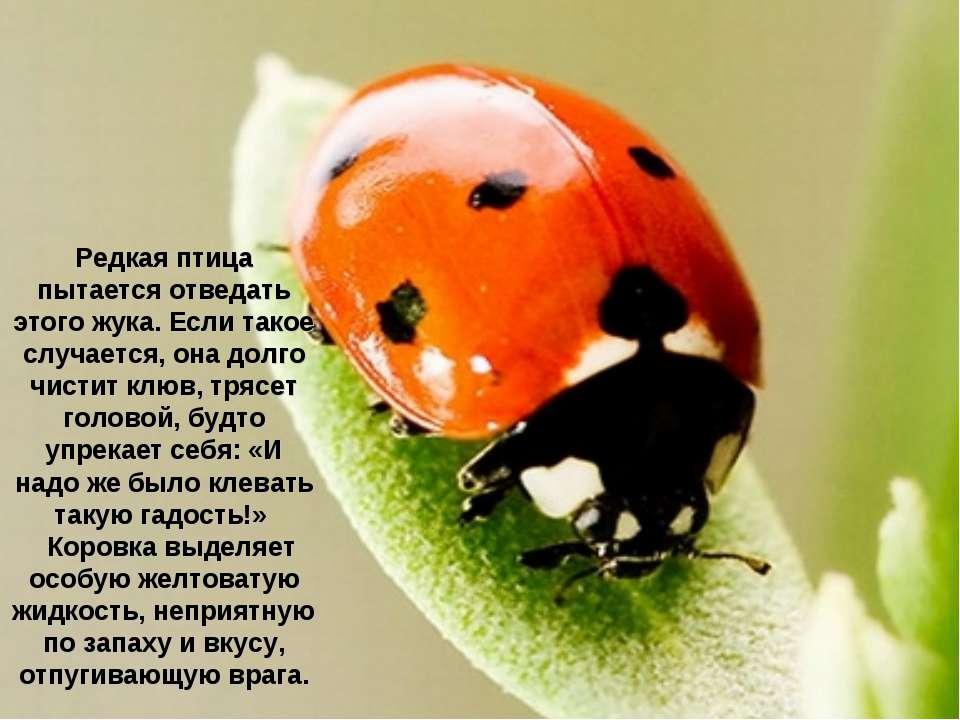 Редкая птица пытается отведать этого жука. Если такое случается, она долго чи...