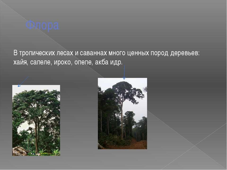 Флора В тропических лесах и саваннах много ценных пород деревьев: хайя, сапел...