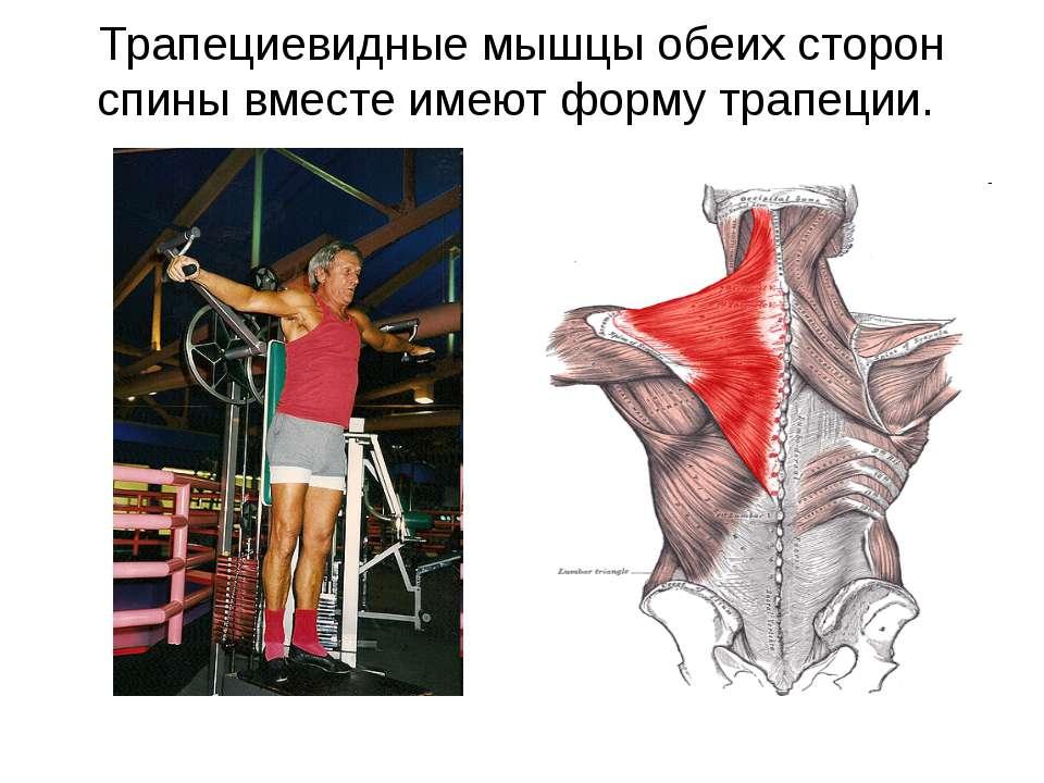 Трапециевидные мышцы обеих сторон спины вместе имеют форму трапеции.