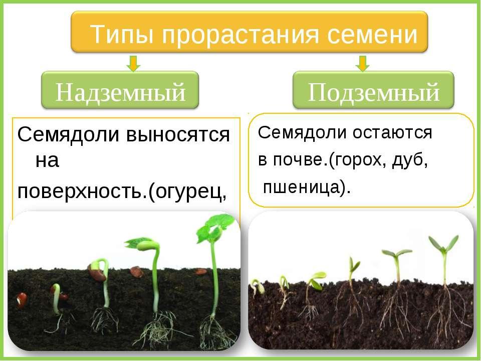 Семядоли выносятся на поверхность.(огурец, лук, капуста, фасоль). Семядоли ос...