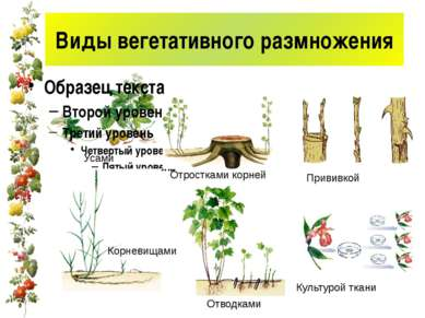 Виды вегетативного размножения Усами Корневищами Отростками корней Отводками ...
