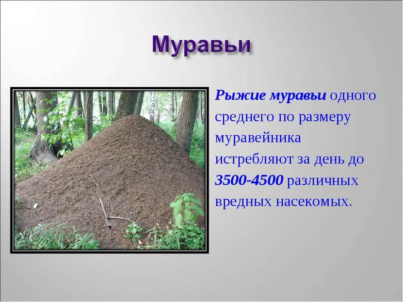 Рыжие муравьи одного среднего по размеру муравейника истребляют за день до 35...